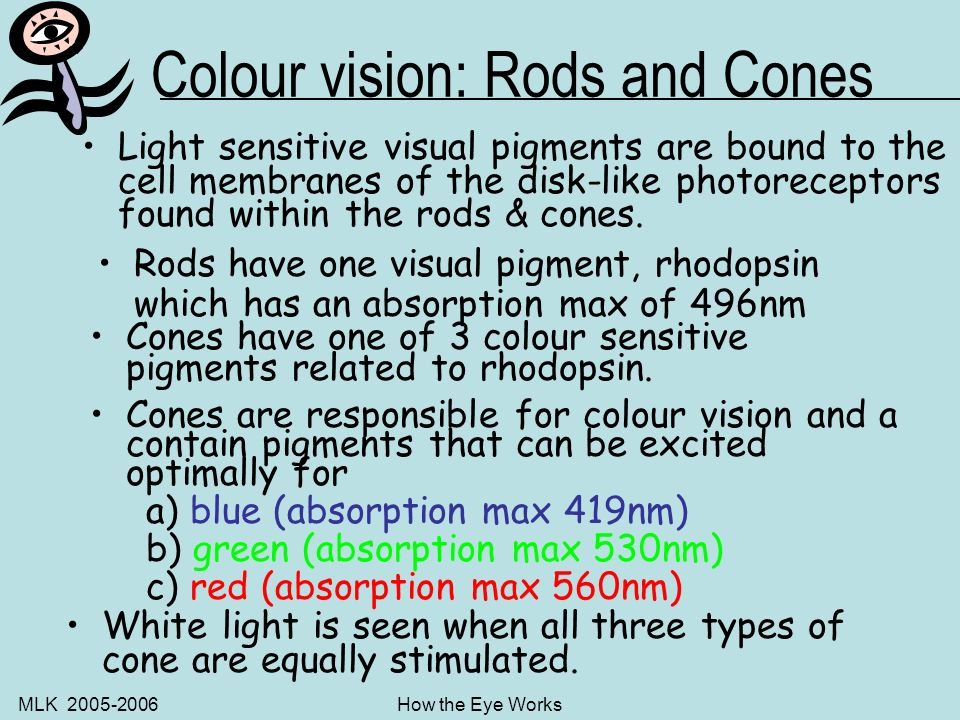 MLK 2005-2006How the Eye Works Rods and Cones