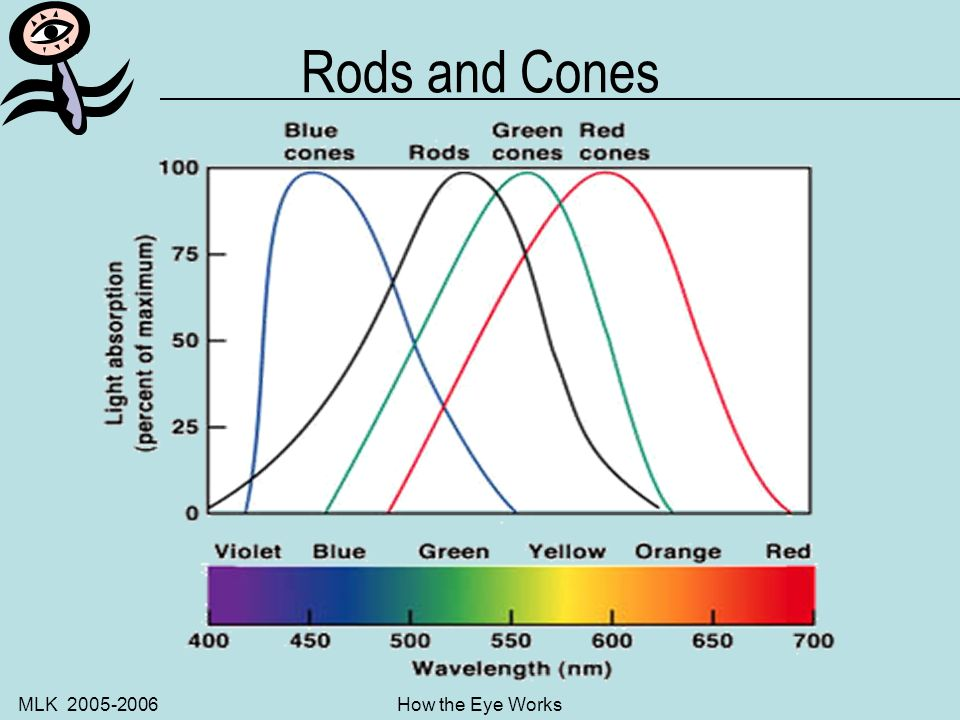 MLK 2005-2006How the Eye Works Colour vision: Rods and Cones Light sensitive visual pigments are bound to the cell membranes of the disk-like photorec