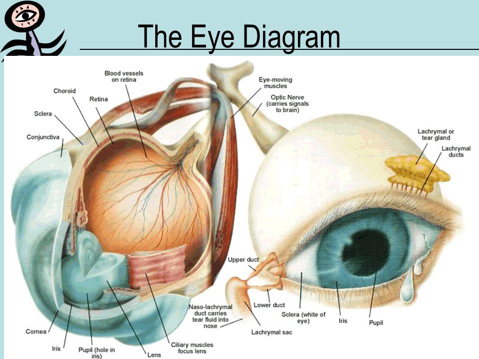 MLK 2005-2006How the Eye Works Eye Anatomy