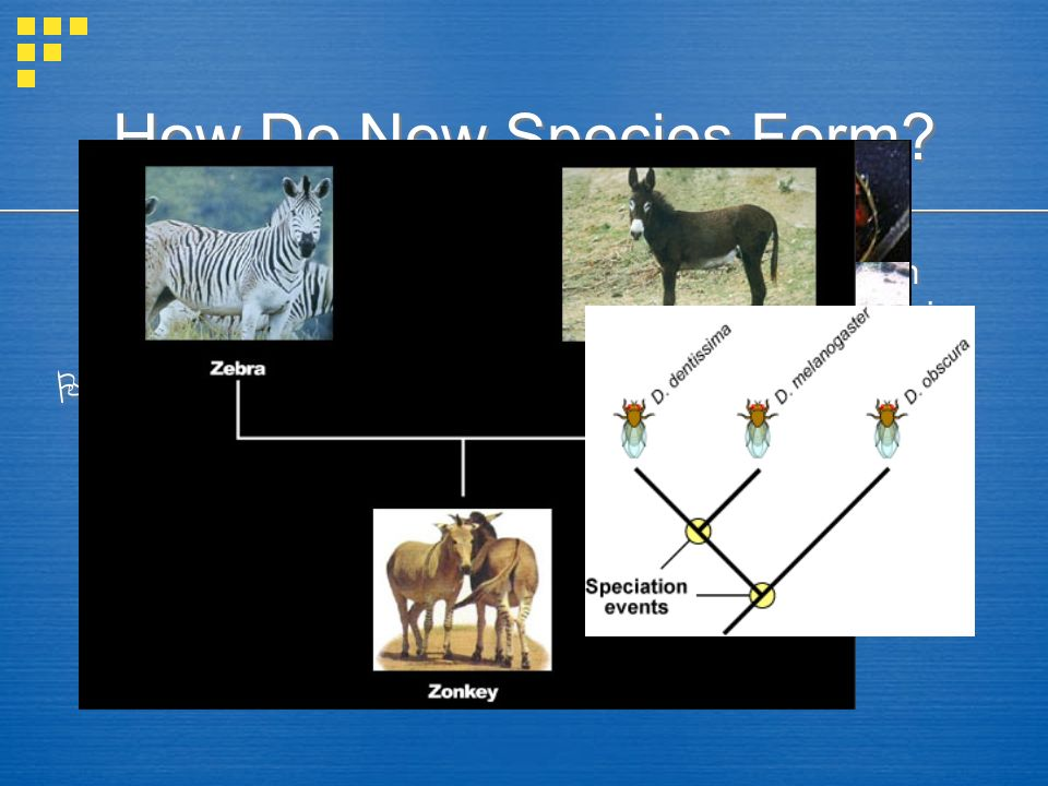 How Do New Species Form? Species = Group of similar organisms that can interbreed & produce fertile offspring Speciation = Evolution of a new species