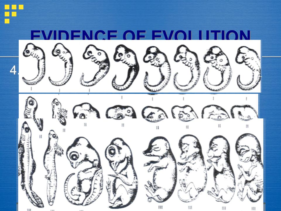4. Embryos = all vertebrates look similar as embryos - suggests all related EVIDENCE OF EVOLUTION