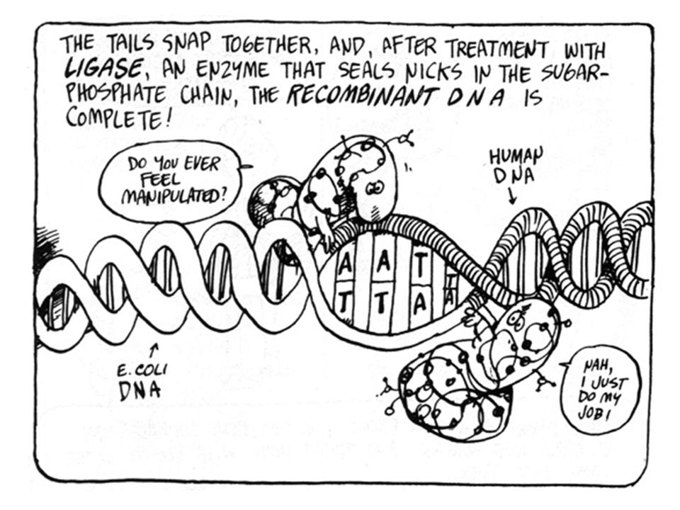 Also treat human DNA with Eco.R1 and you get a section of DNA containing the gene you want with two complementary ends as well! Short sequence of DNA