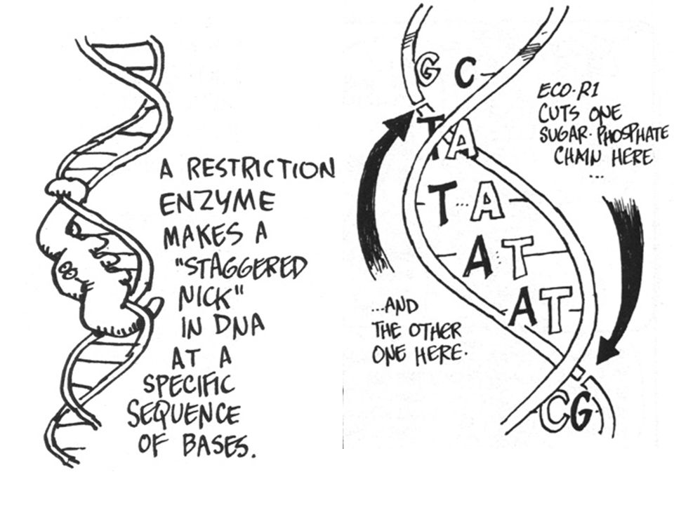 Using Bacterial Plasmid Cut the Bacterial Plasmid using restriction enzyme called Eco R1