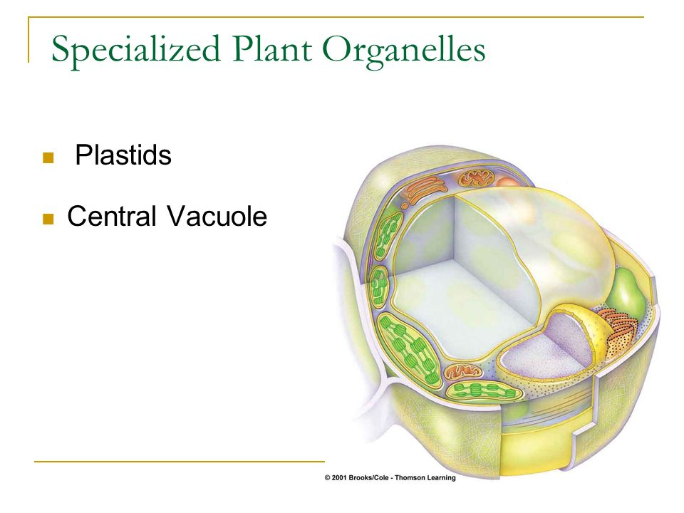 Plastids Central Vacuole Specialized Plant Organelles