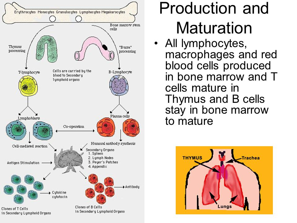 Production and Maturation All lymphocytes, macrophages and red blood cells produced in bone marrow and T cells mature in Thymus and B cells stay in bone marrow to mature
