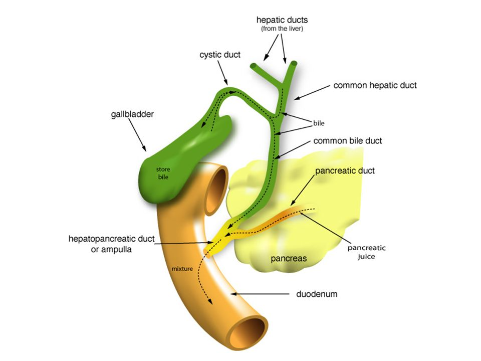 Small Intestine Most chemical digestion takes place here.