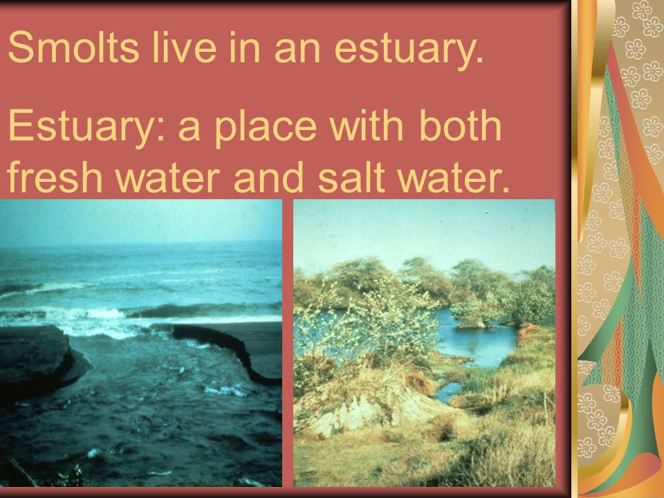 Smolts live in an estuary. Estuary: a place with both fresh water and salt water.