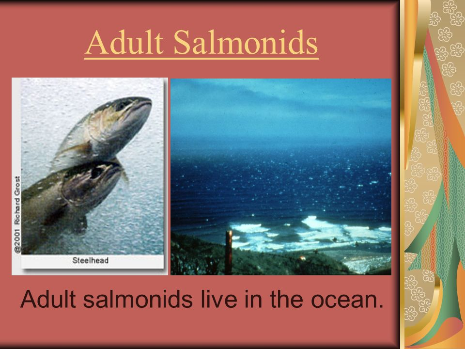 Adult Salmonids Adult salmonids live in the ocean.