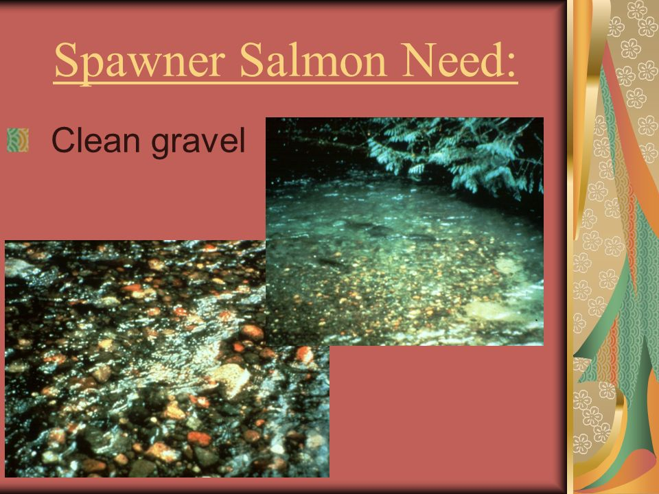 Spawner Salmon Need: Clean gravel
