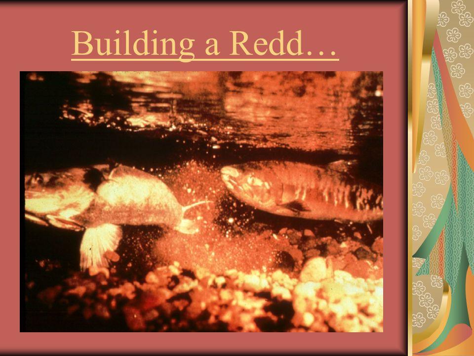 Building a Redd…