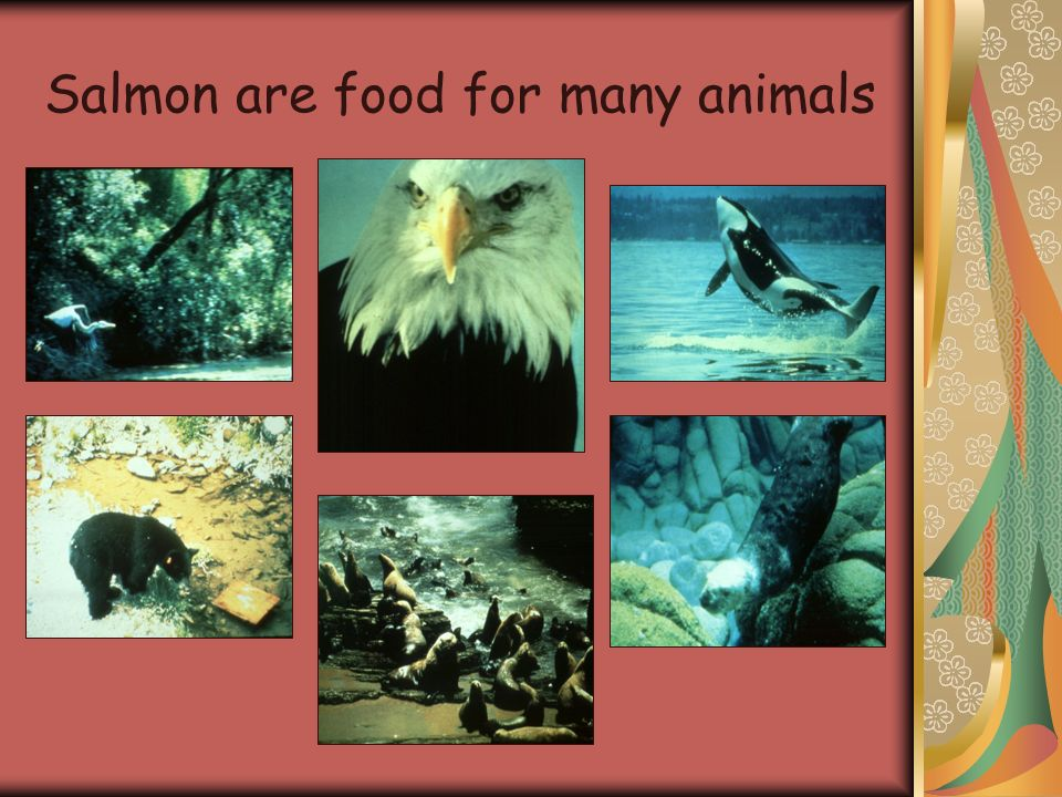 Salmon are food for many animals