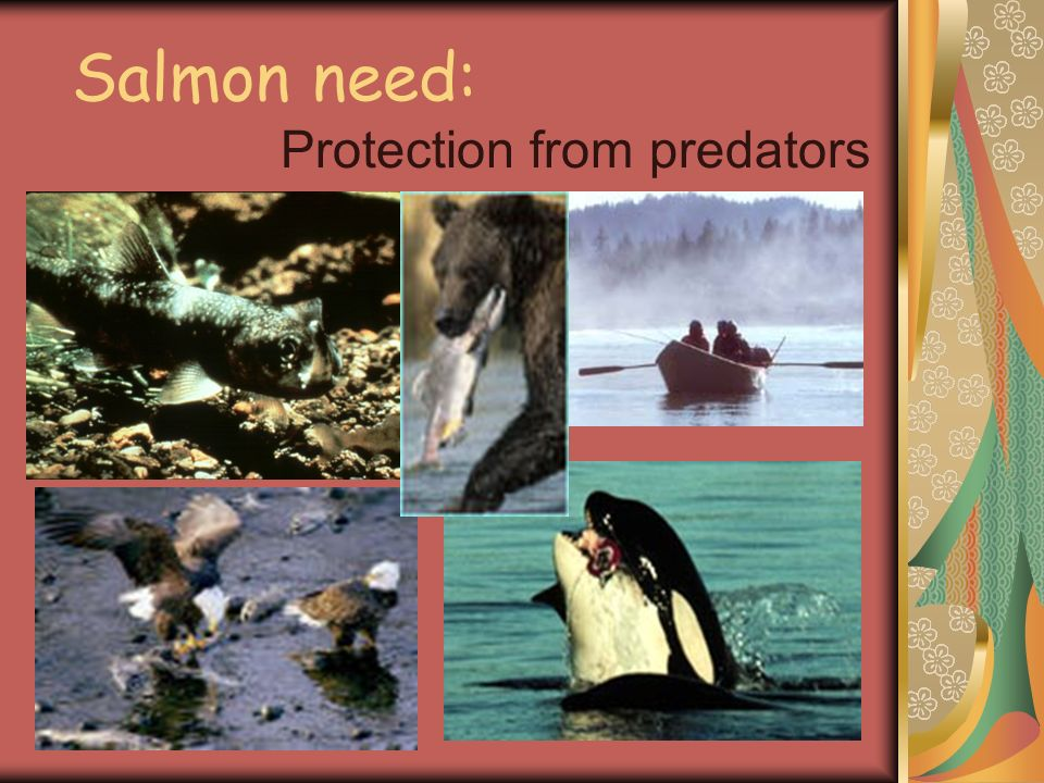 Salmon need: Protection from predators
