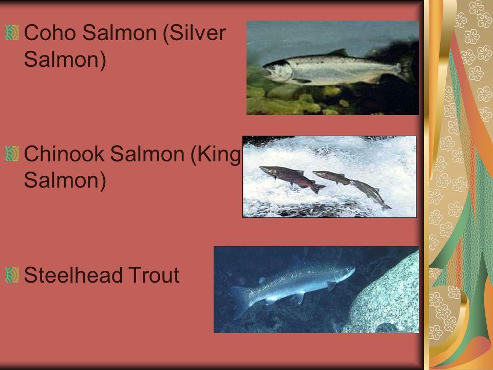 Coho Salmon (Silver Salmon) Chinook Salmon (King Salmon) Steelhead Trout