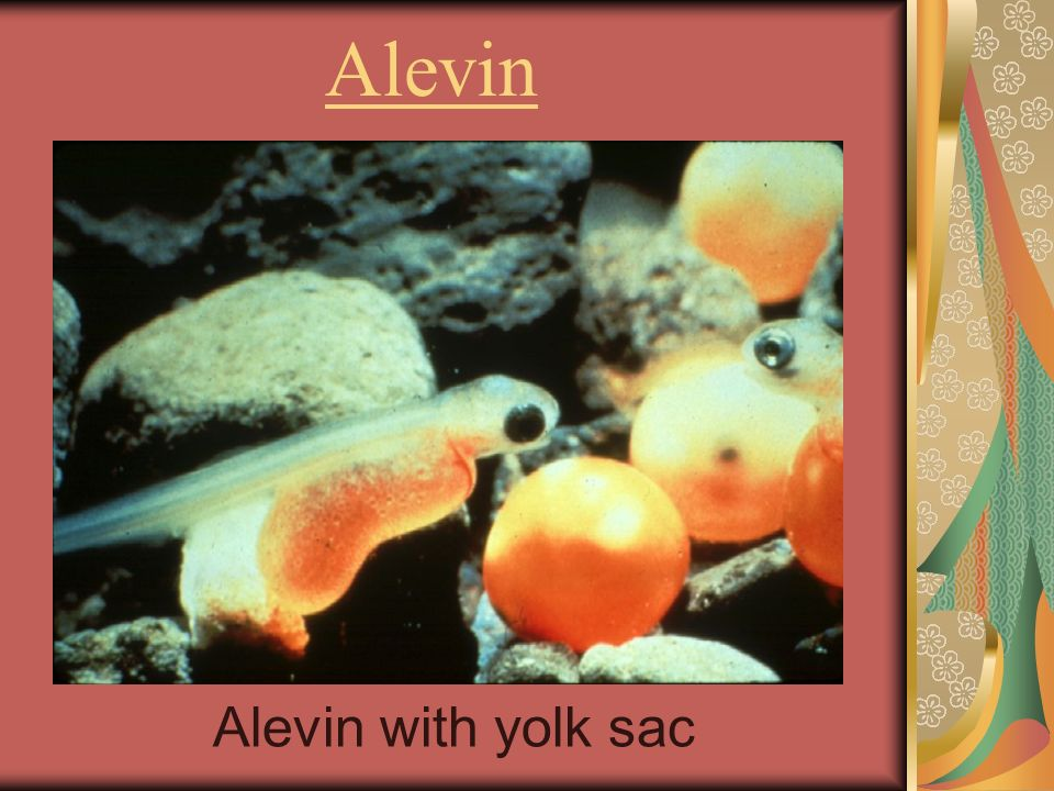 Alevin Alevin with yolk sac