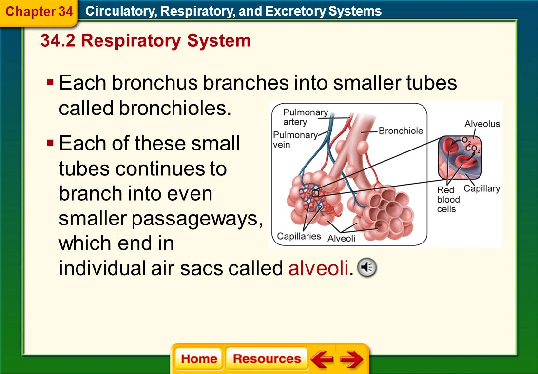 Circulatory, Respiratory, and Excretory Systems The trachea branches into two large tubes, called bronchi, which lead to the lungs. Chapter 34 34.2 Re