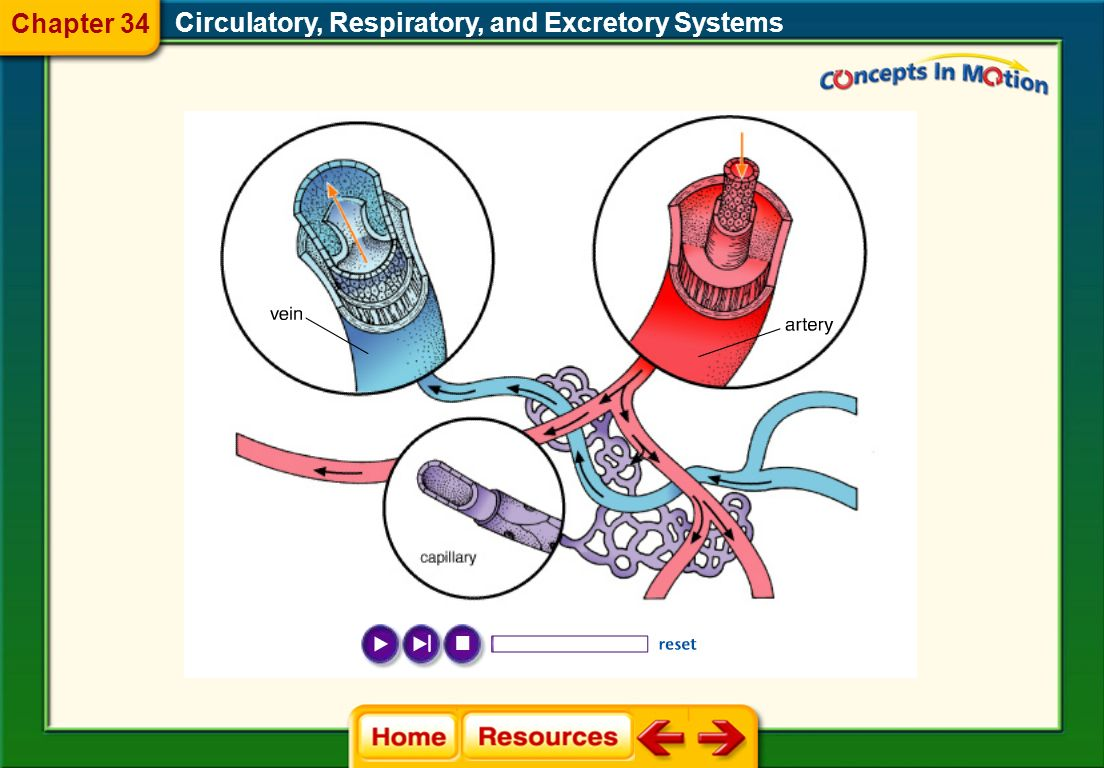 Circulatory, Respiratory, and Excretory Systems Blood Vessels Arteries Capillaries Veins Chapter 34 34.1 Circulatory System
