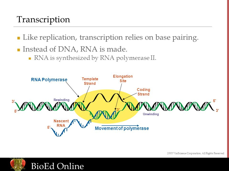 www.BioEdOnline.org BioEd Online Transcription Like replication, transcription relies on base pairing. Instead of DNA, RNA is made. RNA is synthesized