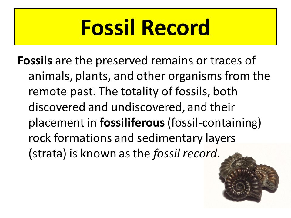 Fossil Record Fossils are the preserved remains or traces of animals, plants, and other organisms from the remote past. The totality of fossils, both