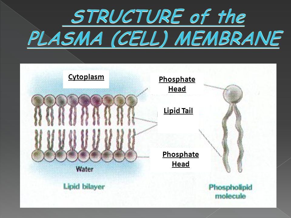 Water molecules surround both sides of the cell membrane.