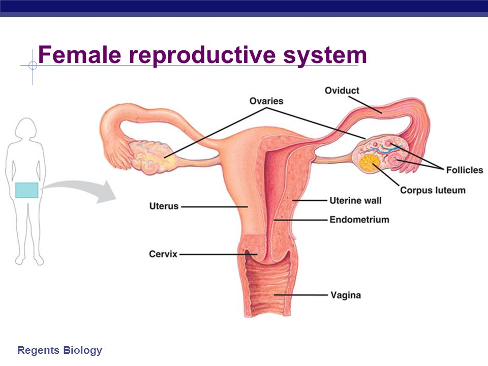 Regents Biology Male reproductive system Testicles produces sperm & hormones Scrotum sac that holds testicles outside of body Epididymis where sperm m
