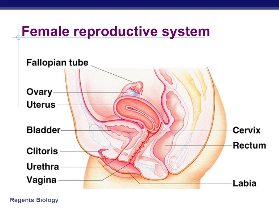 Regents Biology Female reproductive system Ovaries produces eggs & hormones Uterus nurtures fetus; lining builds up each month Fallopian tubes tubes f