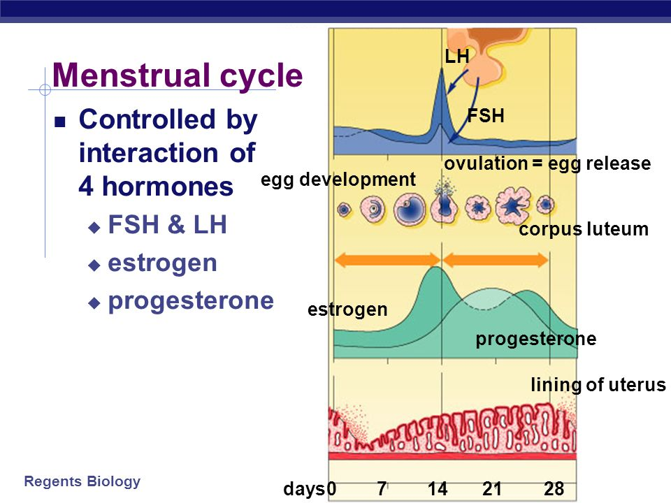 Regents Biology Egg maturation in ovary releases progesterone maintains uterus lining produces estrogen