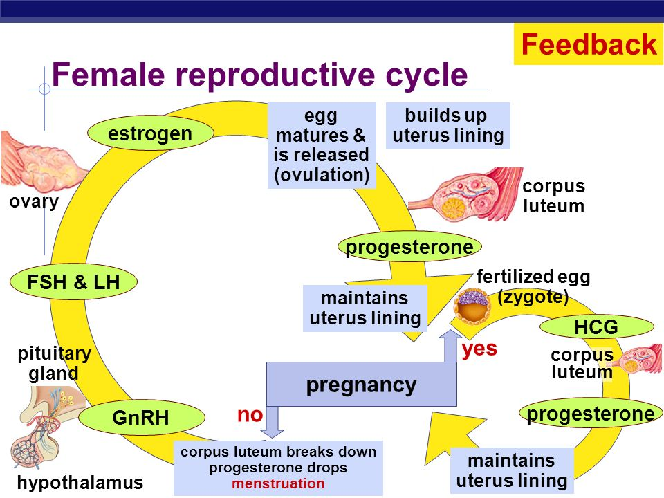 Regents Biology LH FSH estrogen progesterone lining of uterus egg development ovulation = egg release corpus luteum 07142128days Menstrual cycle Contr