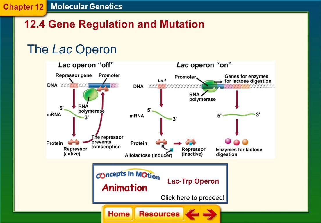 Molecular Genetics The Trp Operon 12.4 Gene Regulation and Mutation Chapter 12