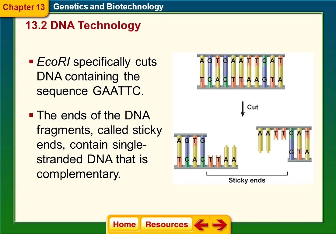 Genetics and Biotechnology Scientists use restriction enzymes as powerful tools for isolating specific genes or regions of the genome. 13.2 DNA Techno