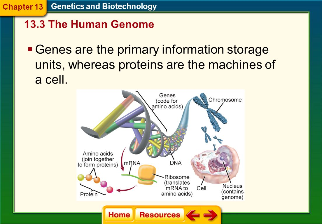 Genomics is the study of an organisms genome. A technique aimed at correcting mutated genes that cause human diseases is called gene therapy. Genetics