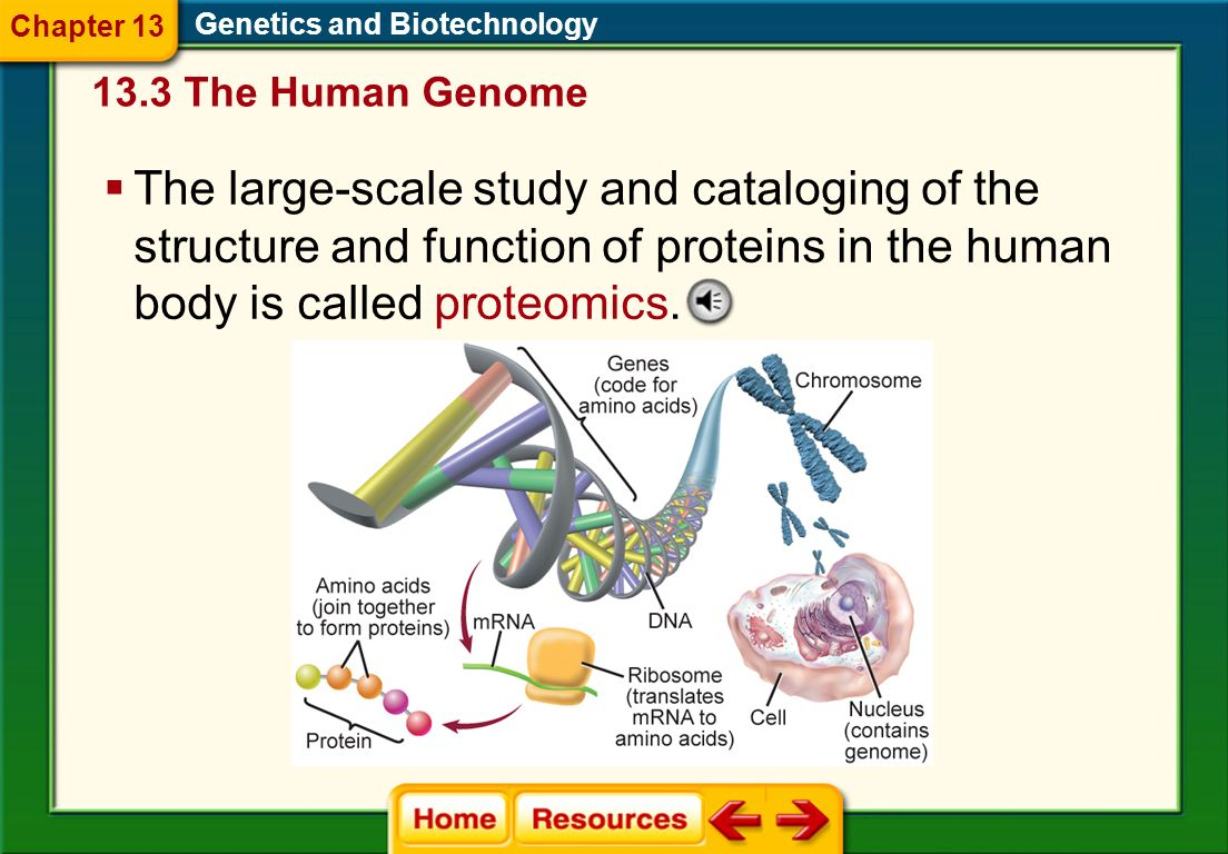 Genes are the primary information storage units, whereas proteins are the machines of a cell. Genetics and Biotechnology 13.3 The Human Genome Chapter
