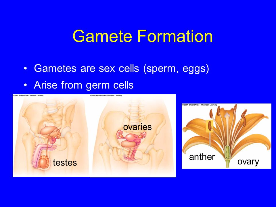 Gamete Formation Gametes are sex cells (sperm, eggs) Arise from germ cells testes ovaries anther ovary