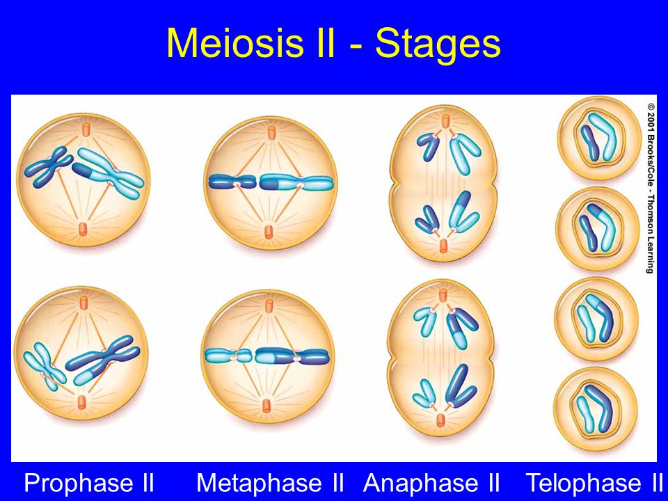 Meiosis II - Stages Prophase IIMetaphase IIAnaphase IITelophase II