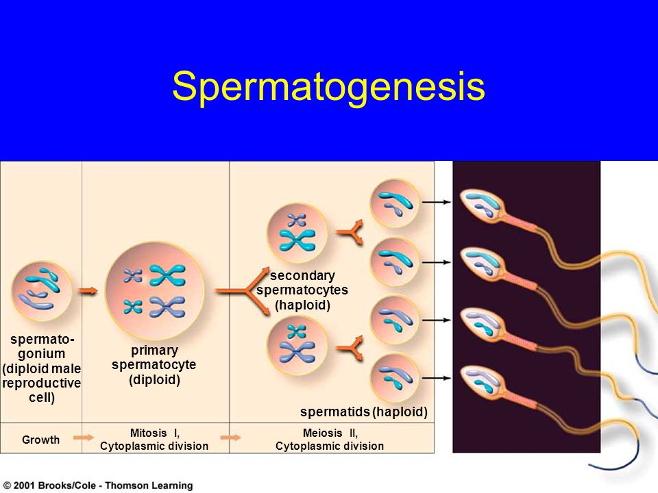 Spermatogenesis Growth Mitosis I, Cytoplasmic division Meiosis II, Cytoplasmic division spermatids (haploid) secondary spermatocytes (haploid) primary