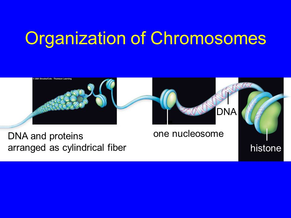 Organization of Chromosomes DNA and proteins arranged as cylindrical fiber DNA histone one nucleosome