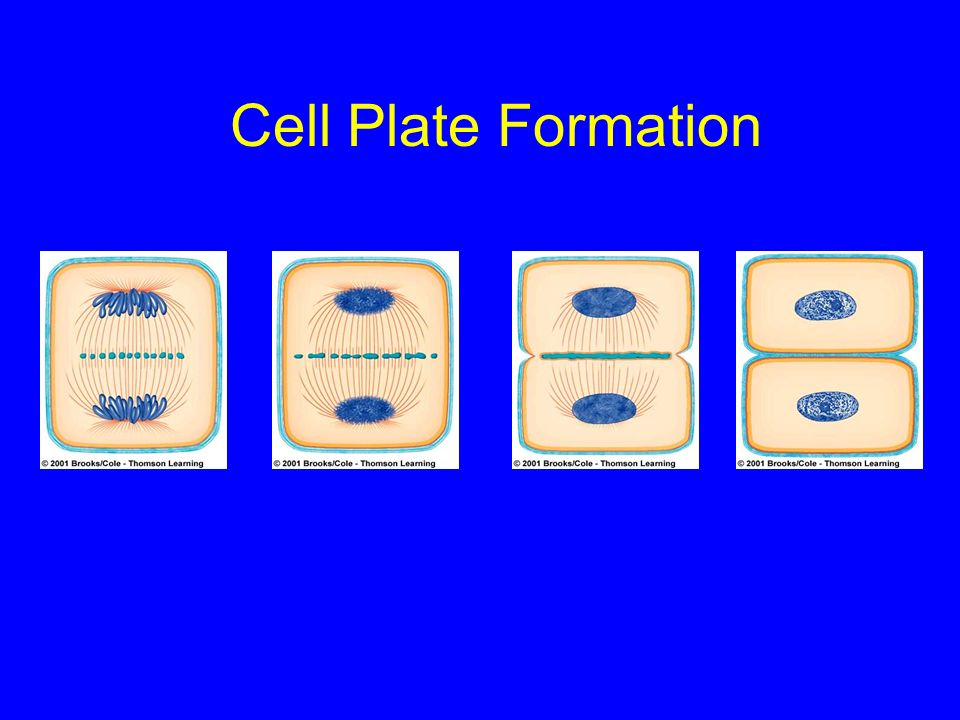 Cell Plate Formation