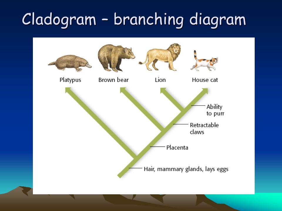 Cladogram – branching diagram