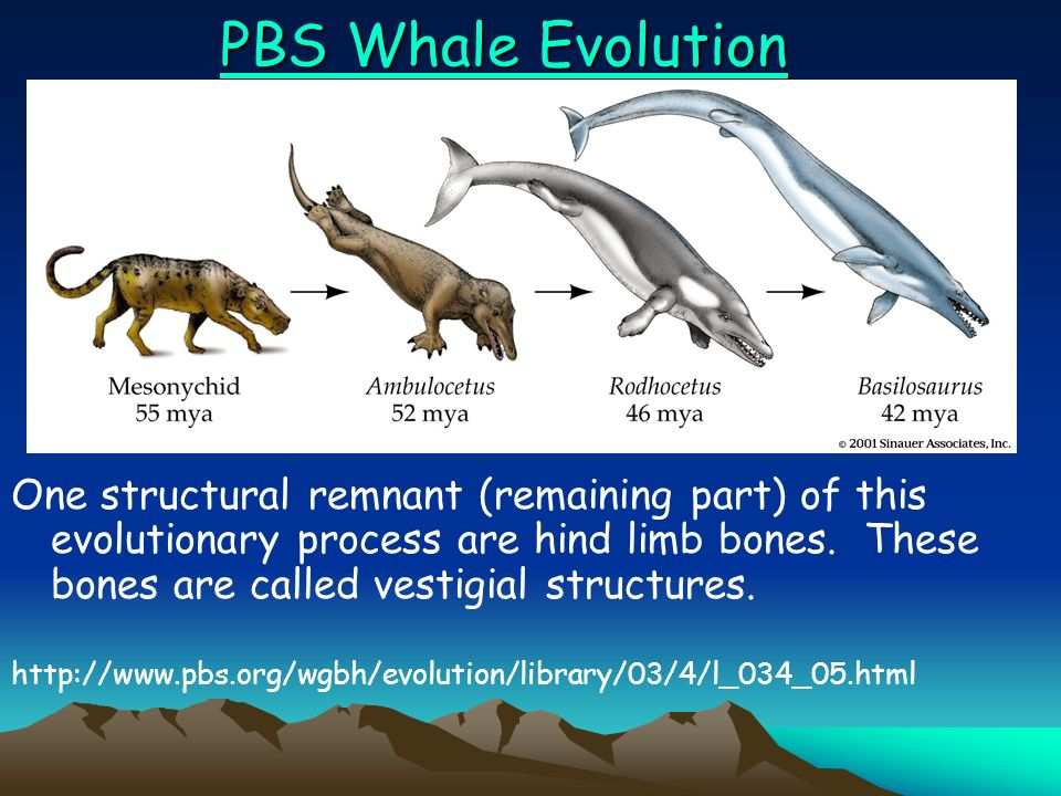Whale evolution (terrestrial to aquatic in ~ 8 Myr) 8 million years total