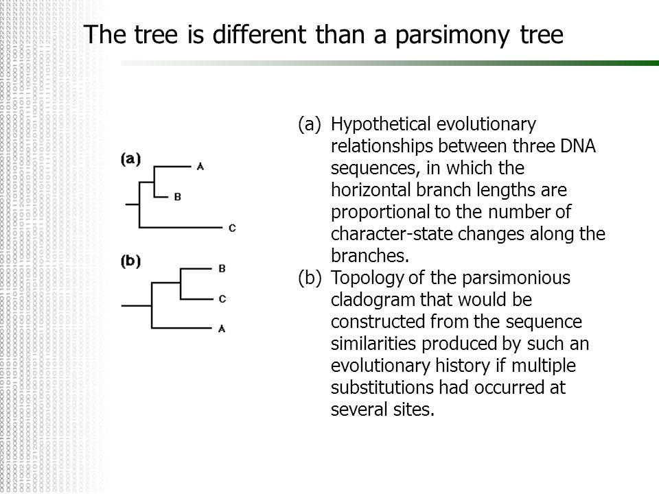 The tree is different than a parsimony tree (a)Hypothetical evolutionary relationships between three DNA sequences, in which the horizontal branch len
