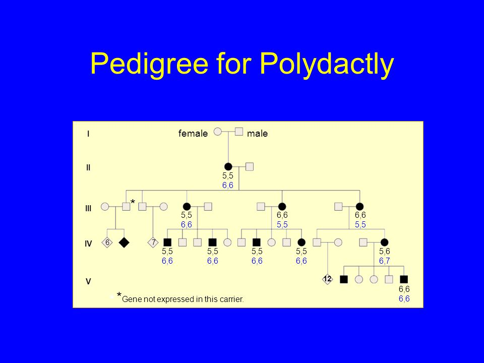Pedigree for Polydactly I II III IV V 67 12 5,5 6,6 6,6 5,5 5,6 6,7 6,6 * Gene not expressed in this carrier. * malefemale