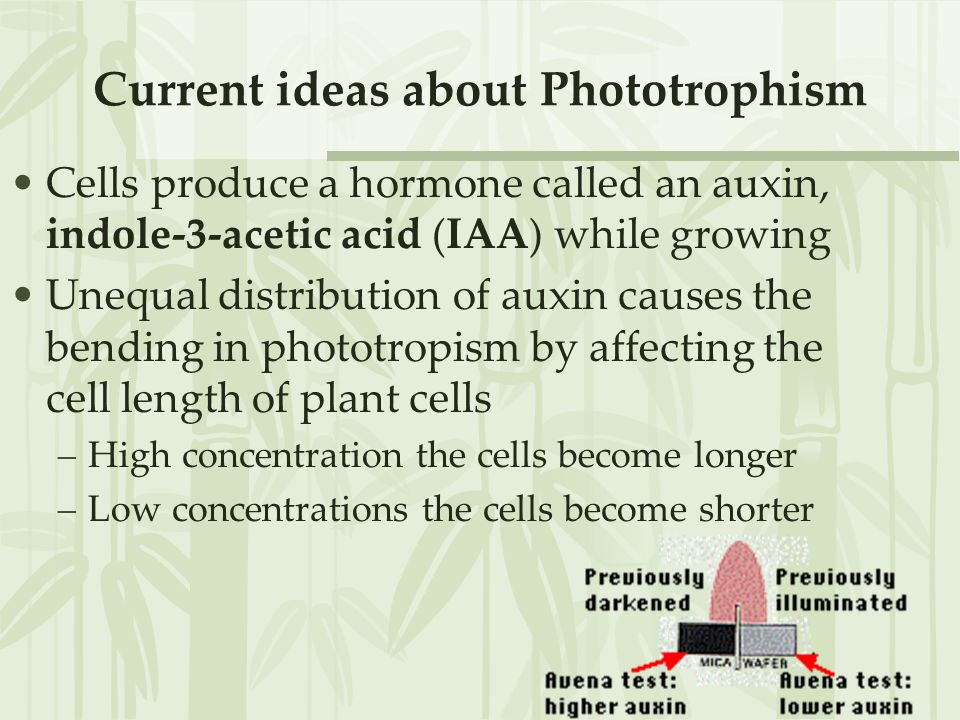 Tropic Responses –Light = phototropism Stems are positively phototropic –moving towards the light stimulus Roots are negatively phototropic –moving aw