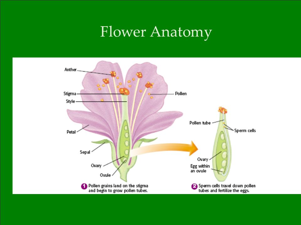 Fertilization Mechanisms In Flowering Plants Sciencedirect 2686121
