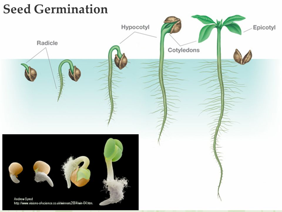 Andrew Syred http://www.visions-of-science.co.uk/winners2004/win-04.htm. Seed Germination