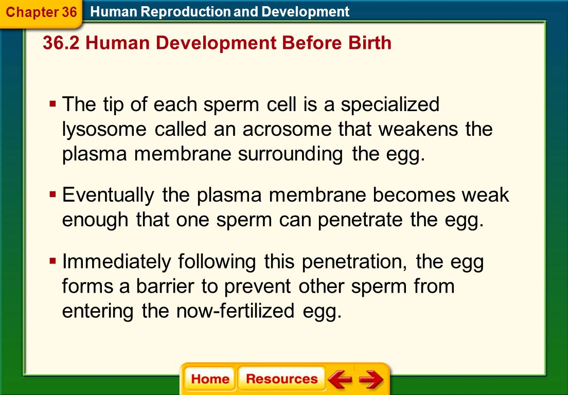 36.2 Human Development Before Birth Human Reproduction and Development Fertilization Process of a sperm joining with an egg Sperm and eggs each are ha