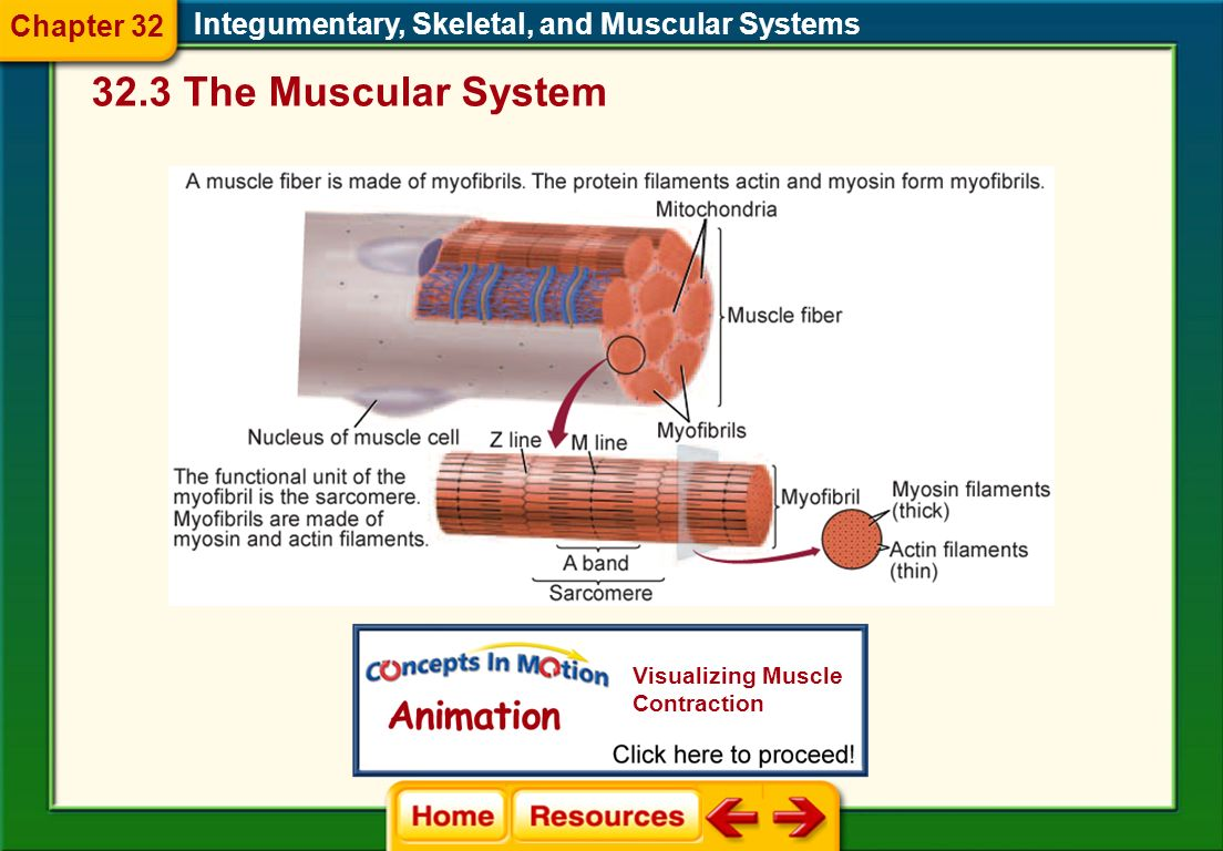 Skeletal muscle is arranged into fibers, which consist of many smaller units called myofibrils. Myofibrils consist of even smaller units, myosin and a