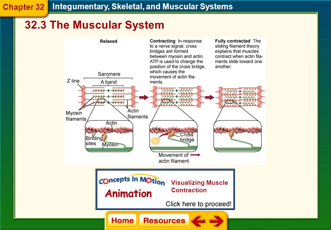 Integumentary, Skeletal, and Muscular Systems Sliding Filament Theory Once a nerve signal reaches a muscle, the actin filaments slide toward one anoth