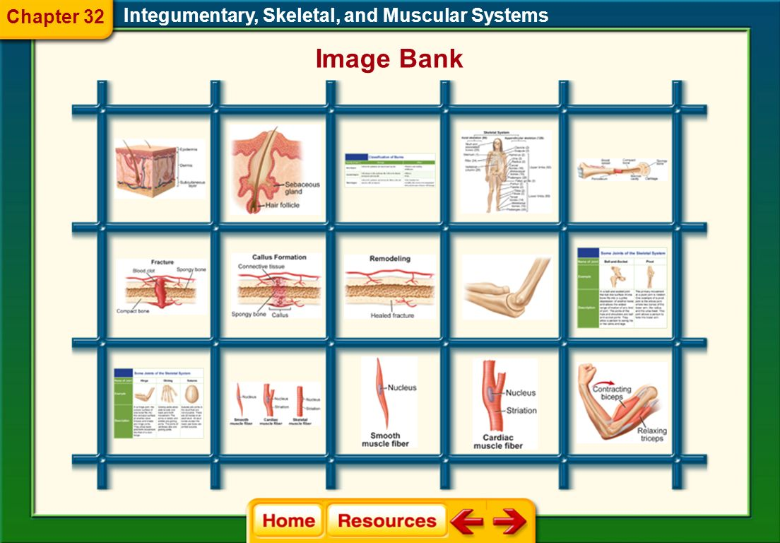 Glencoe Biology Transparencies Integumentary, Skeletal, and Muscular Systems Chapter 32