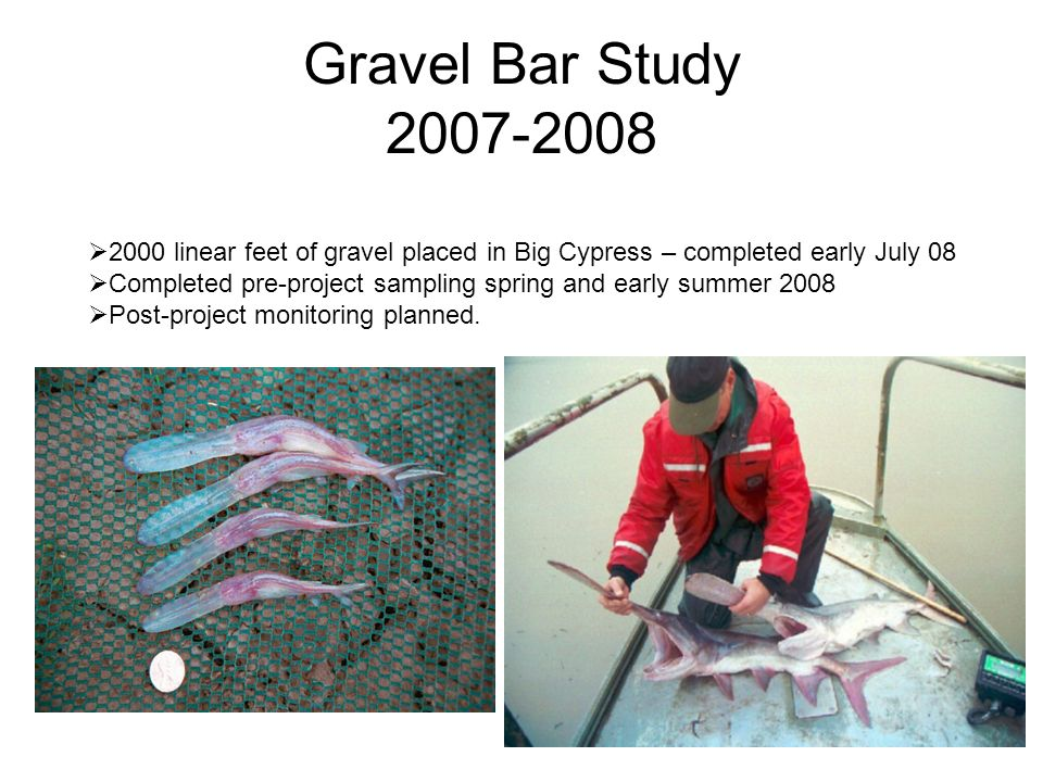 Gravel Bar Study linear feet of gravel placed in Big Cypress – completed early July 08 Completed pre-project sampling spring and early summer 2008 Post-project monitoring planned.