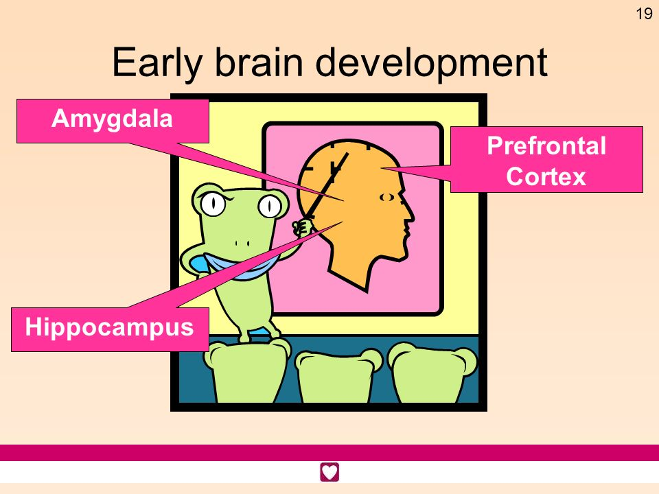 19 Early brain development Prefrontal Cortex Hippocampus Amygdala
