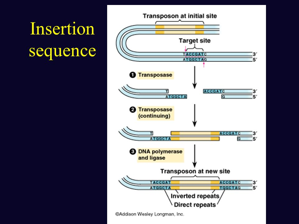 Transposons -a piece of DNA that can move from one location to another; moves genes into new areas (target sites) Insertion sequence: simplest transpo